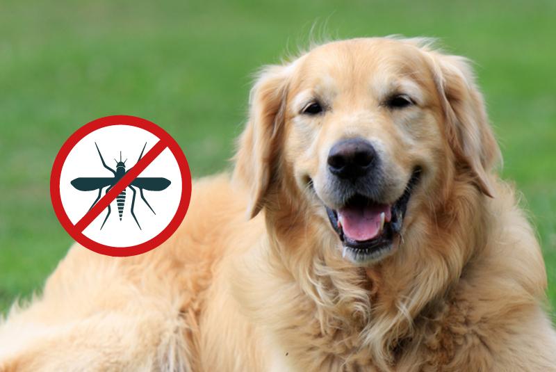 la filariosi è una pericolosa malattia trasmessa al cane dalle zanzare